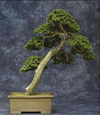 Chabo Hiba Cypresses 1
