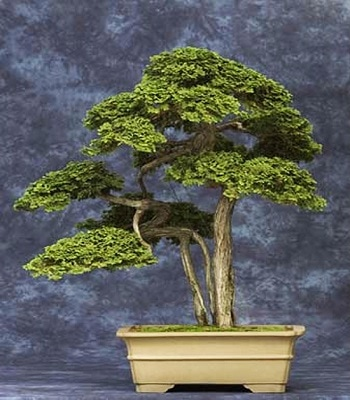 7 Oldest Bonsai Trees In The World Oldest Org