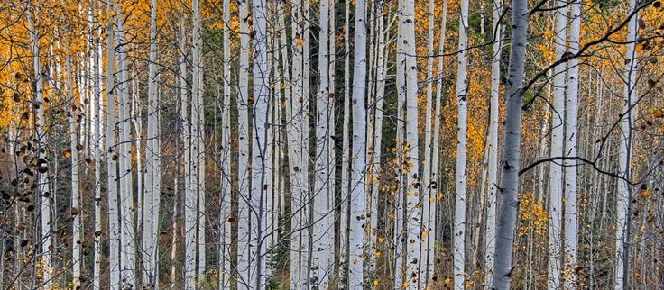 Pando Aspen Grove