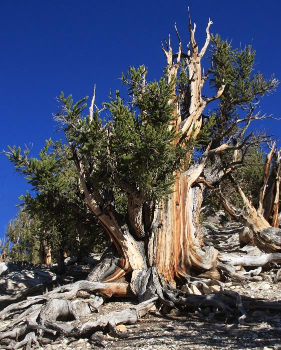 Unnamed Great Basin Bristlecone Pine