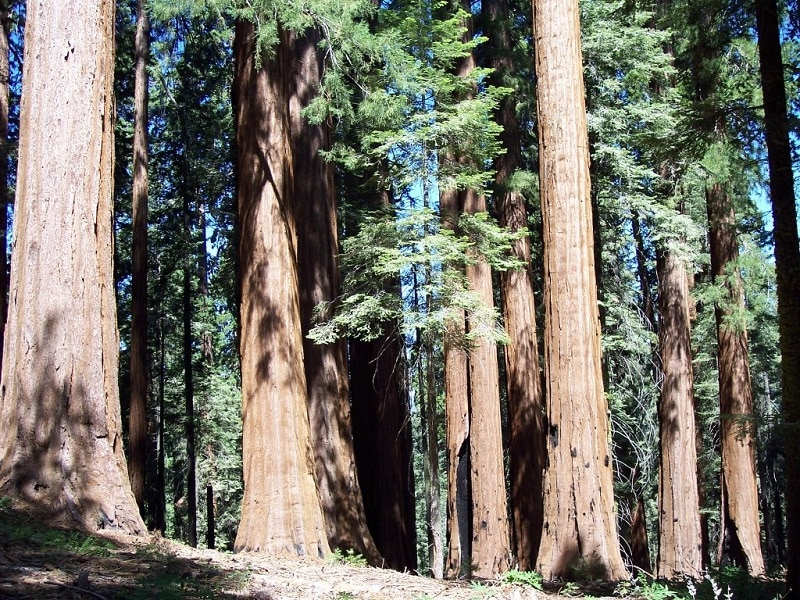 Unnamed Giant Sequoias