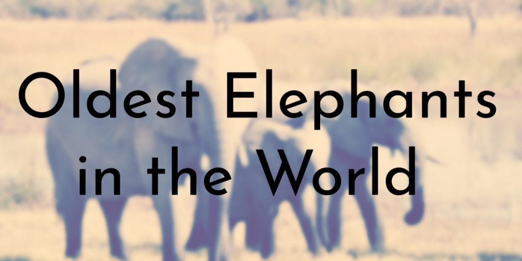 Oldest Elephants in the World