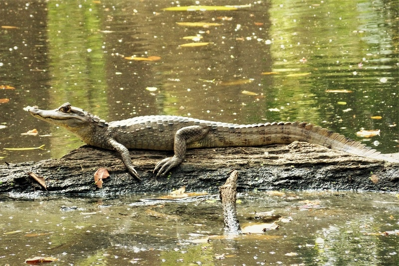 Common Caiman