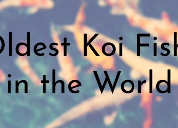 Oldest Koi Fish in the World