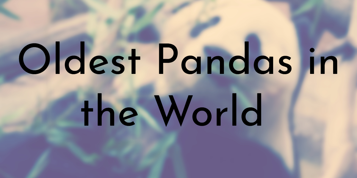 Oldest Pandas in the World