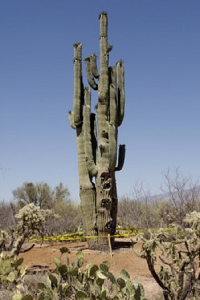 Oro Valley Saguaro