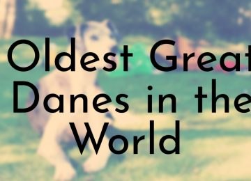 Oldest Great Danes in the World