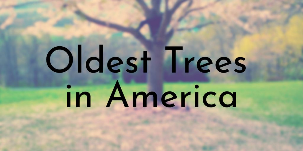 Oldest Trees in America