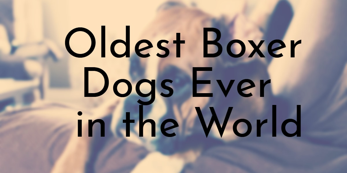 Oldest Boxer Dogs Ever in the World