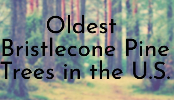 Oldest Bristlecone Pine Trees in the U.S.