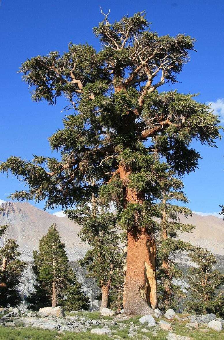 Oldest Foxtail Pine
