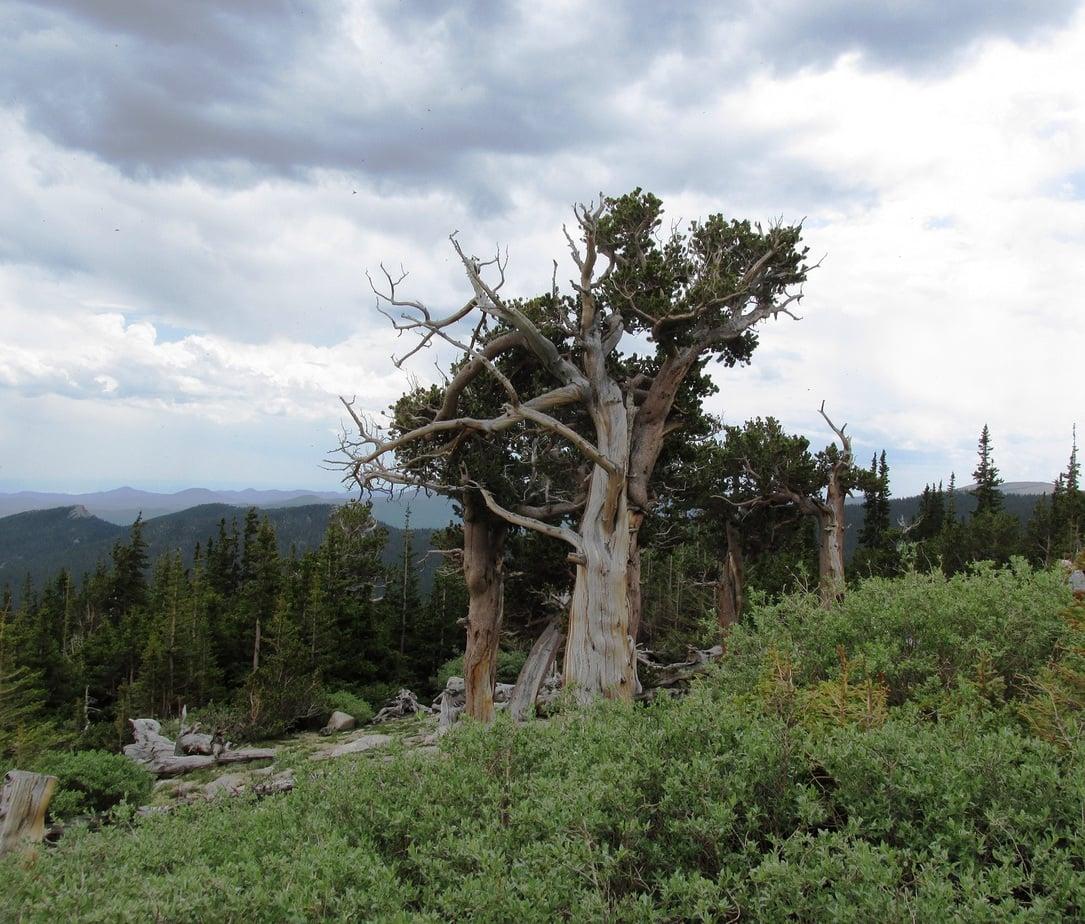 Oldest Rocky Mountain Bristlecone Pine