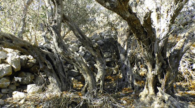 Bidni Olive Trees