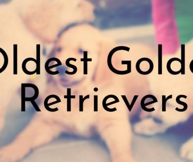 Oldest Golden Retrievers