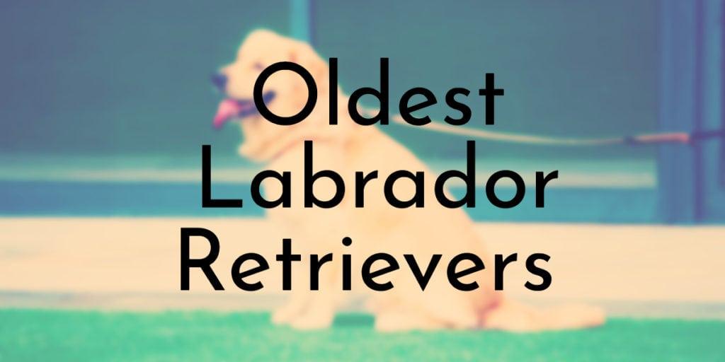 Oldest Labrador Retrievers