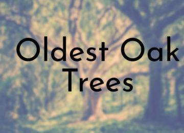 Oldest Oak Trees