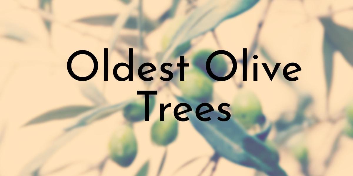 Oldest Olive Trees