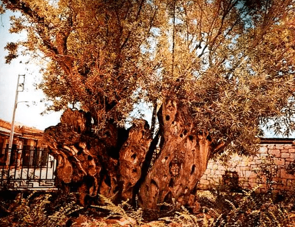 Plato's Sacred Olive Tree