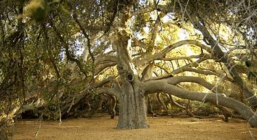 The Pechanga Great Oak Tree